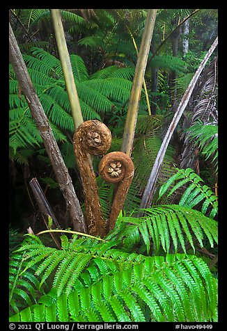 Crozier of the Hapuu tree ferns. Hawaii Volcanoes National Park (color)