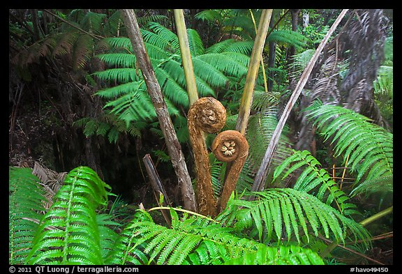 Hapuu tree ferns with crozier fronds. Hawaii Volcanoes National Park (color)