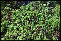 Tropical Ferns (Dicranopteris linearis) on slope. Hawaii Volcanoes National Park ( color)
