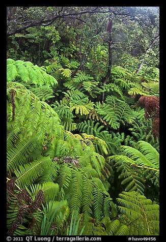 Tree fern canopy in rain forest. Hawaii Volcanoes National Park (color)
