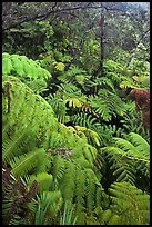 Tree fern canopy in rain forest. Hawaii Volcanoes National Park, Hawaii, USA. (color)