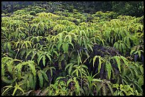 Carpet of false staghorn fern (Uluhe). Hawaii Volcanoes National Park ( color)