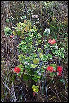 Ohia Lehua shrub and flowers. Hawaii Volcanoes National Park ( color)