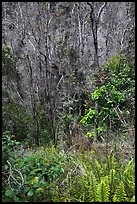Fern and trees in Kookoolau crater. Hawaii Volcanoes National Park ( color)