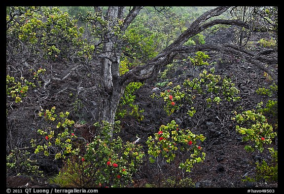 Ohia tree and lava flow. Hawaii Volcanoes National Park (color)