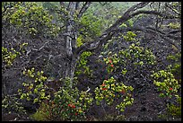 Ohia tree and lava flow. Hawaii Volcanoes National Park, Hawaii, USA. (color)