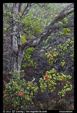 Ohia flowers and tree. Hawaii Volcanoes National Park (color)