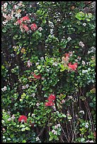 Ohia Lehua flowers. Hawaii Volcanoes National Park, Hawaii, USA. (color)
