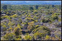 Forest on Mauna Loa slopes. Hawaii Volcanoes National Park ( color)