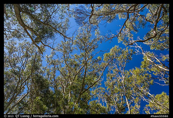 Looking up forest of koa trees. Hawaii Volcanoes National Park (color)