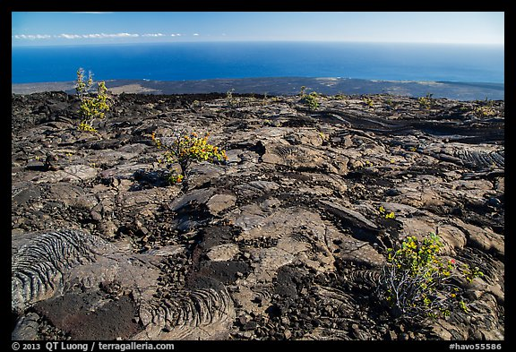Ohia shrubs on lava flow overlooking Pacific Ocean. Hawaii Volcanoes National Park (color)