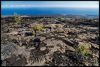 Ohia shrubs on lava flow overlooking Pacific Ocean. Hawaii Volcanoes National Park, Hawaii, USA. (color)