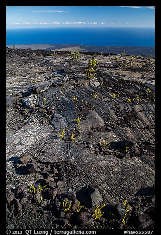 Ferns and Ohelo on lava flow above Pacific. Hawaii Volcanoes National Park (color)