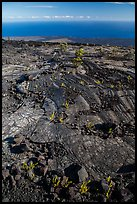 Ferns and Ohelo on lava flow above Pacific. Hawaii Volcanoes National Park, Hawaii, USA. (color)