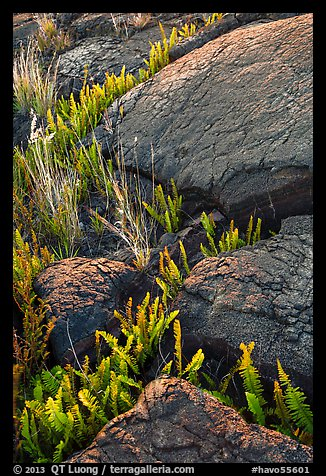 Ferns growing in cracks of lava rock. Hawaii Volcanoes National Park (color)