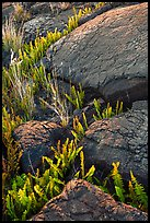 Ferns growing in cracks of lava rock. Hawaii Volcanoes National Park, Hawaii, USA. (color)