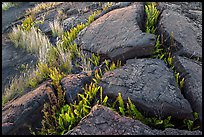 Cracked lava rocks and ferns at sunset. Hawaii Volcanoes National Park, Hawaii, USA. (color)