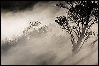 Trees and volcanic steam, Steaming Bluff. Hawaii Volcanoes National Park ( color)