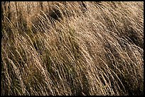 Grasses blowing in wind. Hawaii Volcanoes National Park ( color)