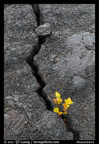 Shrub and crack, Kilauea Iki crater. Hawaii Volcanoes National Park (color)