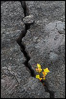 Shrub and crack, Kilauea Iki crater. Hawaii Volcanoes National Park ( color)