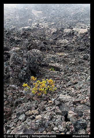 Ohelo shrub and chaotic lava, Kilauea Iki crater. Hawaii Volcanoes National Park (color)