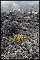 Ohelo shrub and chaotic lava, Kilauea Iki crater. Hawaii Volcanoes National Park, Hawaii, USA. (color)