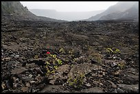 New growth on Kilauea Iki crater floor. Hawaii Volcanoes National Park, Hawaii, USA. (color)