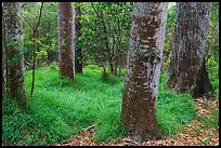 Old-growth forest of koa on kipuka. Hawaii Volcanoes National Park, Hawaii, USA. (color)