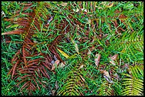 Ground close-up with ferns, grasses, and fallen koa leaves. Hawaii Volcanoes National Park, Hawaii, USA. (color)