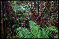 Ferns in lush rainforest. Hawaii Volcanoes National Park, Hawaii, USA. (color)