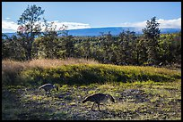 Nenes and Mauna Loa. Hawaii Volcanoes National Park, Hawaii, USA. (color)