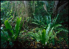 Paleotropical rainforest floor near Saua, Tau Island. National Park of American Samoa ( color)