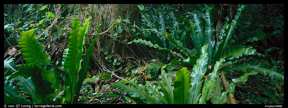 Old World tropical rainforest plants, Tau Island. National Park of American Samoa (color)