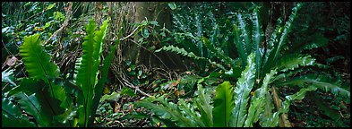 Old World tropical rainforest plants, Tau Island. National Park of American Samoa (Panoramic color)