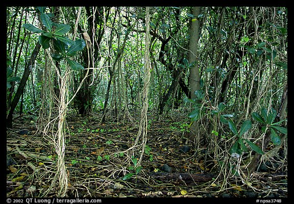 Coastal paleotropical rainforest near Saua, Tau Island. National Park of American Samoa (color)