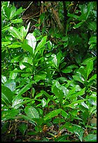 Tropical leaves,  Tutuila Island. National Park of American Samoa ( color)