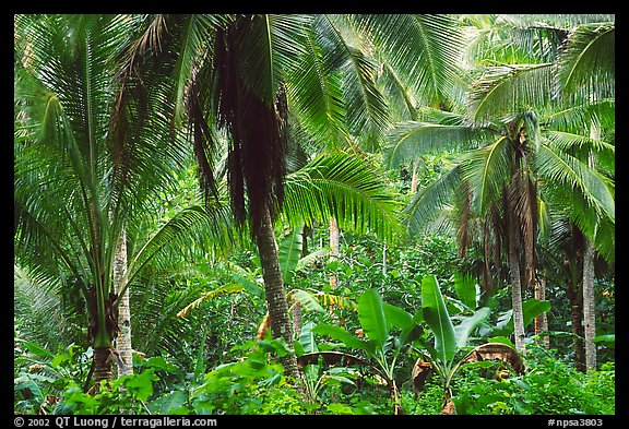 Mix of native and planted tropical plants, Tutuila Island. National Park of American Samoa (color)