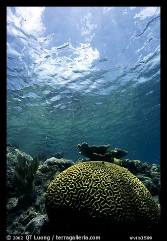 Brain coral. Virgin Islands National Park (color)