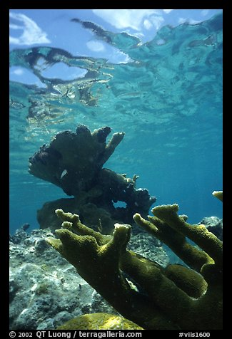 Elkhorn coral underwater. Virgin Islands National Park (color)