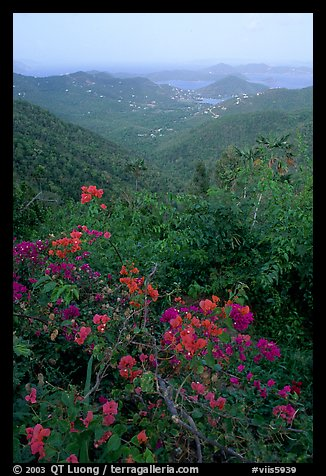 Bougainvillea flowers and view from ridge. Virgin Islands National Park (color)