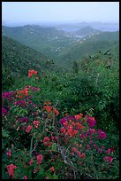 Bougainvillea flowers and view from ridge. Virgin Islands National Park ( color)