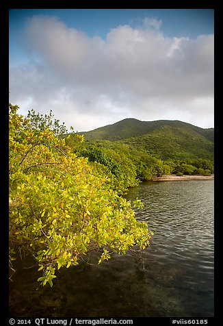 Shore tree, Great Lameshur Bay, and green hills. Virgin Islands National Park (color)