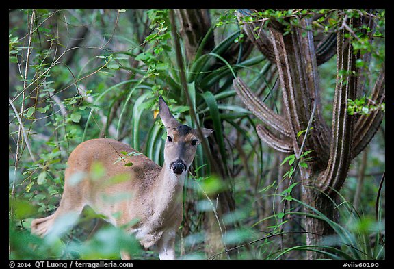 Deer and cactus, Yawzi Point. Virgin Islands National Park (color)