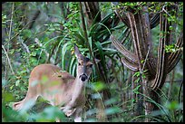 Deer and cactus, Yawzi Point. Virgin Islands National Park ( color)