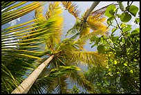 Looking up palm trees. Virgin Islands National Park ( color)