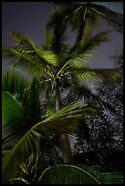 Coconut trees at night, Salomon Beach. Virgin Islands National Park ( color)