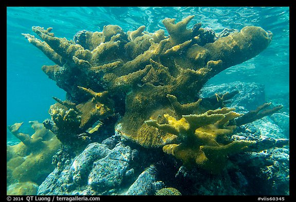 Elkhorn coral, Trunk Bay. Virgin Islands National Park (color)