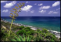 Centenial flower and ocean on Ram Head. Virgin Islands National Park, US Virgin Islands.