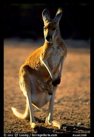 Female Kangaroo with joey in pocket. Australia (color)